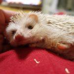 【噛み癖の改善】我が家のハリネズミの噛み癖の変遷を辿る