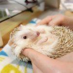【大掃除】長期休暇に見直したいハリネズミ飼育環境5選