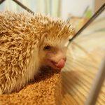 【暖房関連まとめ】秋冬のハリネズミ飼育に必要な物5選