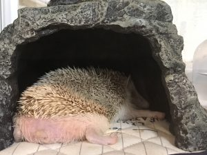 ハリネズミ 寝床